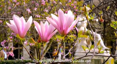 Magnolias blooming in Jardin du Palais Royal in early spring in Paris